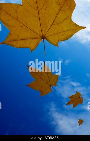 Des feuilles dorées à la chute d'un beau ciel d'automne bleu Banque D'Images