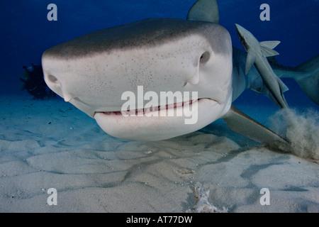 Pa0951-D. Requin tigre, Galeocerdo cuvier. Bahamas, Océan Atlantique. Photo Copyright Brandon Cole Banque D'Images