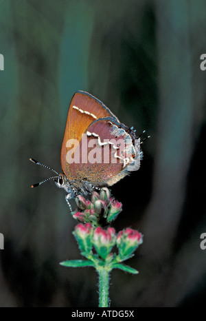 S Porte-queue Nelson Juniper Callophrys gryneus nelsoni Californie États-Unis Lycaenidae Theclinae adultes Mars