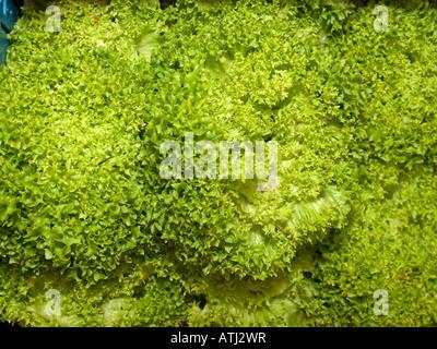 Laitue frisée salade d'endives fraîches Salade verte avec des feuilles plumeuse Banque D'Images
