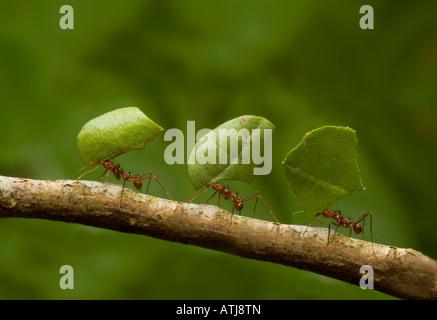 Les fourmis coupeuses de feuilles feuilles comptable Banque D'Images