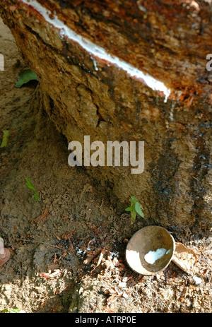 La sève des arbres en caoutchouc Banque D'Images