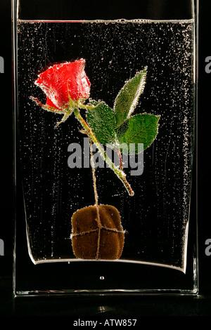Dans l'eau de rose dans le verre dans la bulle sous l'eau, fleur Banque D'Images