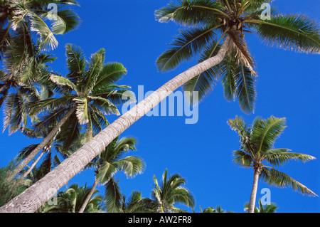 Palm Trees against blue sky Banque D'Images