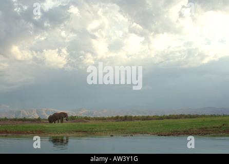 Deux éléphants bull brouter sur le rivage de lac Kariba au Zimbabwe. Banque D'Images