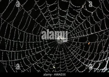 Spider web dans la forêt tropicale du parc national de Soberania, République du Panama. Banque D'Images