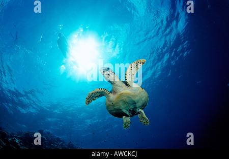 La tortue imbriquée Eretmochelys imbricata Océan Indien Maldives atoll Meemu Banque D'Images