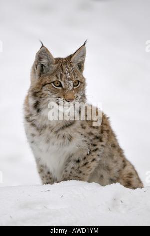 Le Lynx eurasien (Lynx lynx) cub dans la neige, Bavaria, Germany, Europe Banque D'Images