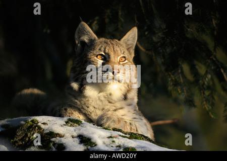 Le Lynx eurasien (Lynx lynx) cub, Bavaria, Germany, Europe Banque D'Images