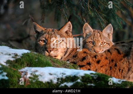 Linx d'Eurasie (Lynx lynx) femelle avec cub dans la lumière du soir, Bavaria, Germany, Europe Banque D'Images