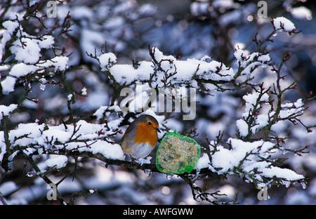 European Robin (Erithacus rubecula aux abords), l'alimentation d'hiver Banque D'Images