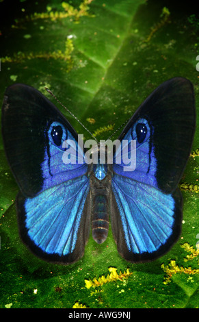 Papillon bleu dans la forêt tropicale près de Cana, dans le parc national de Darien, province de Darién, République Banque D'Images