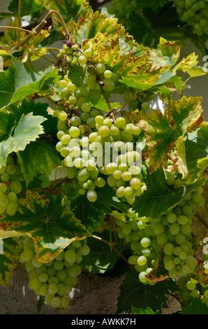 Les raisins de la Franconie. Allemagne Banque D'Images