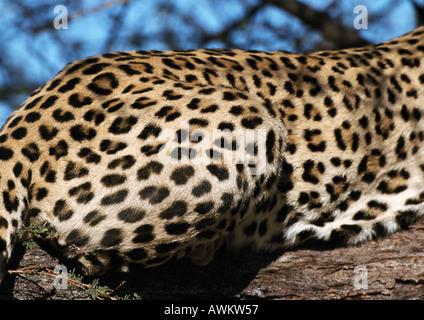 African Leopard (Panthera pardus pardus), portrait