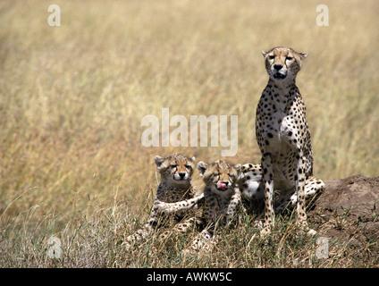 Les guépards d'Afrique de l'Est (Acinonyx jubatus raineyii), la mère et les deux petits, assis dans la savane de Banque D'Images