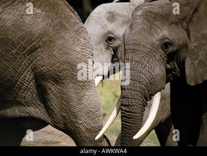 Bush africain Elephant (Loxodonta africana), portrait d'éléphants à la suite membre du troupeau, close-up Banque D'Images