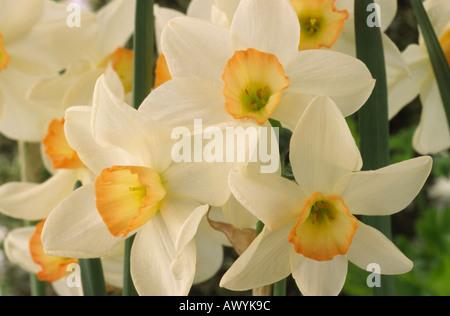 Narcissus 'Angel'. La Division 7 sept Jonquilla jonquille.