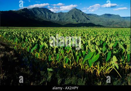 Les champs de taro dans la vallée d'Hanalei Kauai Hawaii USA Août 1996 Banque D'Images