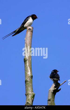 - Swallow hirondelle rustique (Hirundo rustica) Banque D'Images
