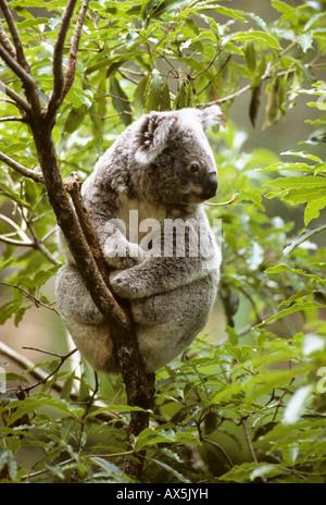 Koala (Phascolarctos cinereus) dans un arbre d'eucalyptus, Queensland, Australie Banque D'Images