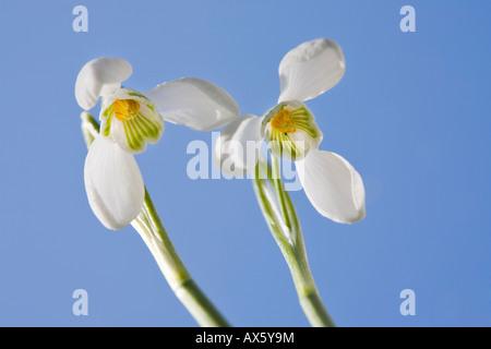 Perce-neige (Galanthus nivalis), jardin des plantes, l'Autriche, Europe Banque D'Images
