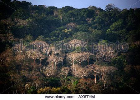 Belle lumière du soir sur la grande Cuipo arbres dans la forêt tropicale du parc national de Soberania, République Banque D'Images