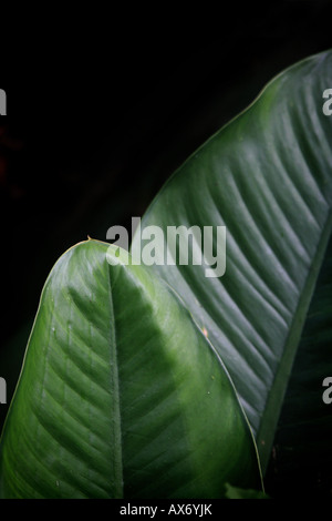Grosses feuilles dans la forêt tropicale à Cana, province de Darién, République du Panama. Banque D'Images