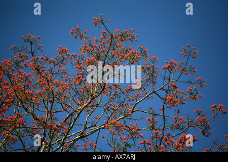 Fleurs colorées sur l'arbre dans le parc national de Darien République du Panama Banque D'Images