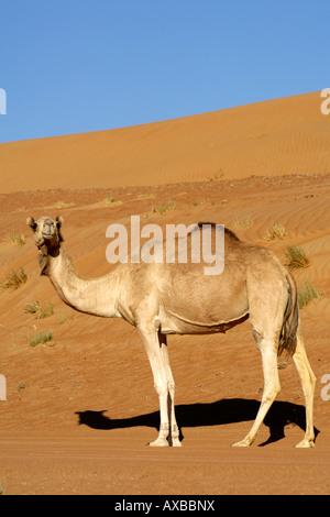 Un chameau d'Arabie / une butte de Dromadaire (Camelus dromedarius) dans la région de Wahiba Sands en Oman. Banque D'Images