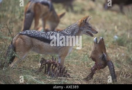 Chacal noir soutenu (Canis mesomelas) et l'Impala (Aepyceros melampus) carcasse Banque D'Images