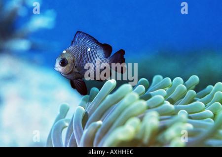 Demoiselle sur anemone Banque D'Images