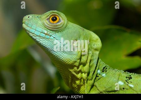 Basiliscus Plumifrons basilic vert Banque D'Images