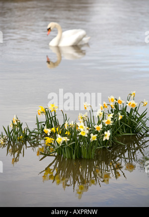 La jonquille de printemps dans l'eau inondation s du fleuve Severn Worcester Angleterre UK avec une majestueuse Banque D'Images