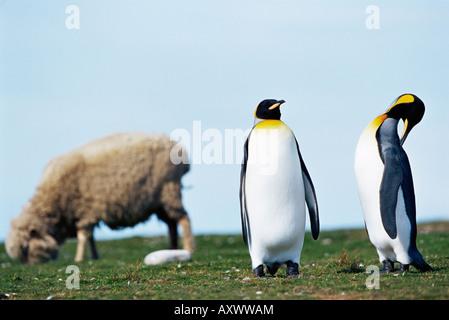 Le manchot royal (Aptenodytes patagonicus) le partage de leur territoire avec un mouton, un bénévole Point, East Falkland, Îles Falkland