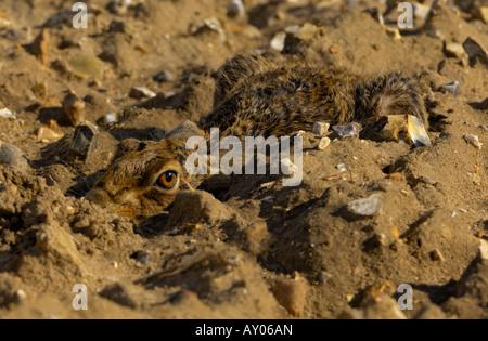 Lièvre brun (Lepus europaeus) North Norfolk Holkham Farmland Banque D'Images