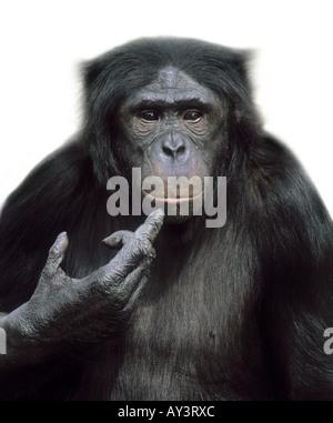 Pan paniscus chimpanzé pygmée Banque D'Images