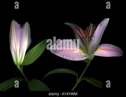 Lily rose contre un fond noir Banque D'Images