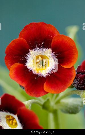 Primula auricula riche tête de lecture avec centre jaune