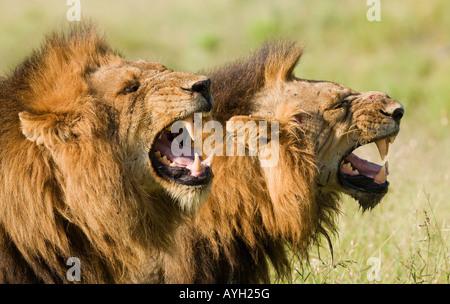 Les lions mâles rugissant, Parc National Kruger, Afrique du Sud Banque D'Images