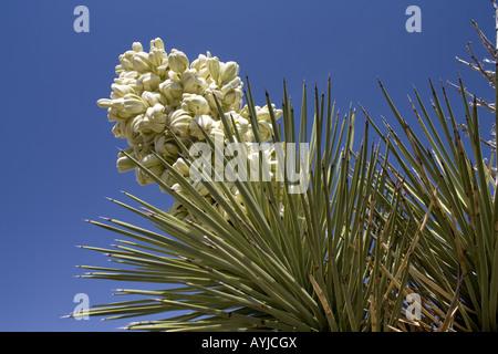 Fleurs de Joshua tree, Antelope Valley, Californie Banque D'Images