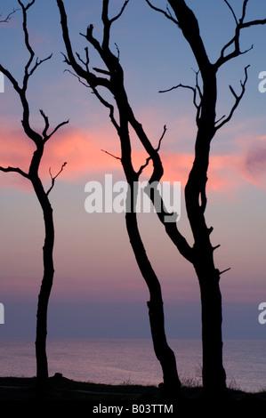 Hêtre avec coucher du soleil dans l', 'Gespensterwald Nienhagen, mer Baltique, Allemagne