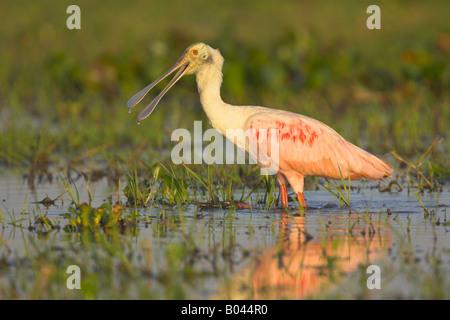 Rosaloeffler [Ajaia ajaja roseate spoonbill] Llanos de l'Orénoque au Venezuela Banque D'Images