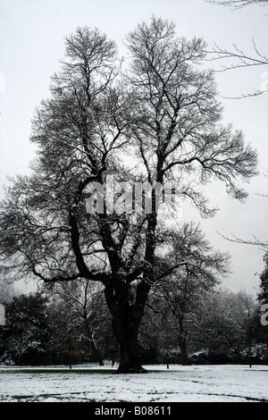Arbre de chêne couvert de neige en hiver Banque D'Images
