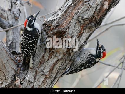 Le pic de Nuttall deux ce qui concerne les uns les autres de part et d'autre de l'arbre à San Diego, Californie, Banque D'Images