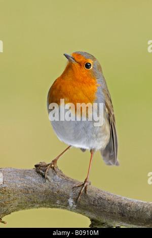 European Robin (Erithacus rubecula aux abords) perché sur une branche Banque D'Images