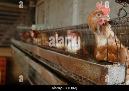 Écrou de gingembre Coq Rangers à une ferme de l'Ontario Banque D'Images