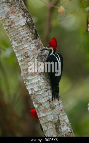 Crimson-crested woodpecker, cendré Campephilus, dans les 265 hectares du parc métropolitain de la forêt tropicale, République du Panama.