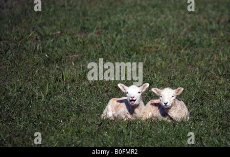 Nouveaux nés agneaux bêlements dans un champ à Steeple Bumpstead sur l'Essex Frontières Suffolk Banque D'Images