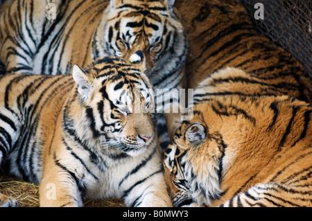 Siberian Tiger Park Harbin Heilongjiang Province nord-est de la Chine Banque D'Images