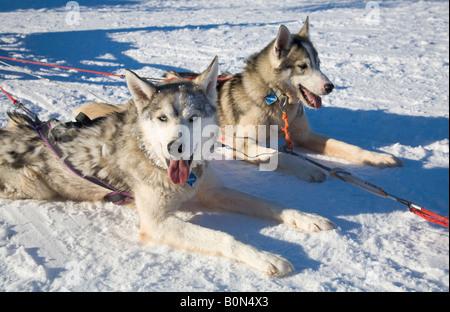 Deux huskies sibériens en Laponie winterly / le nord de la Suède Banque D'Images